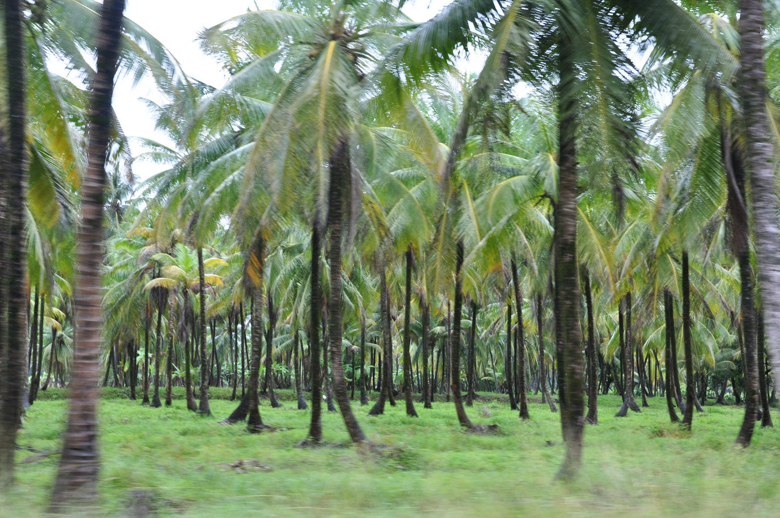 Coconut Grove in Wakenaam By Marco Farouk Basir, CC BY-SA 3.0,