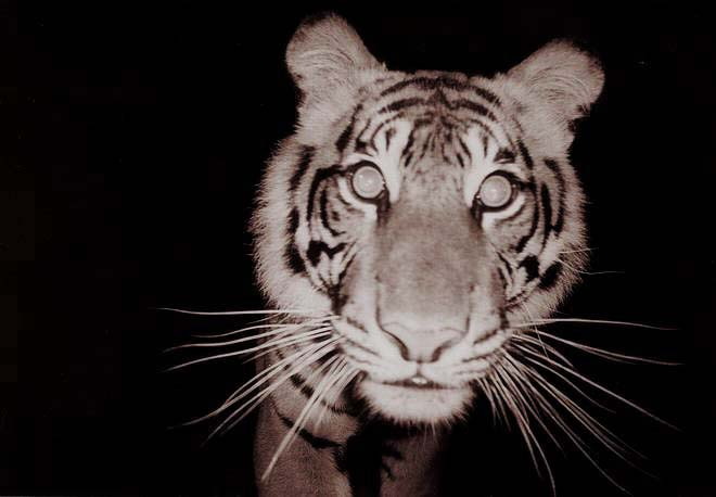 A Sumatran Tiger caught on camera at night, much like the one that stalked the village of Barwan  / Arddu / CC BY (https://creativecommons.org/licenses/by/2.0)
